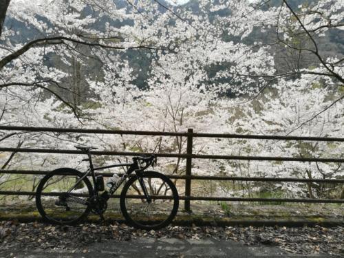 椹野川沿いの桜